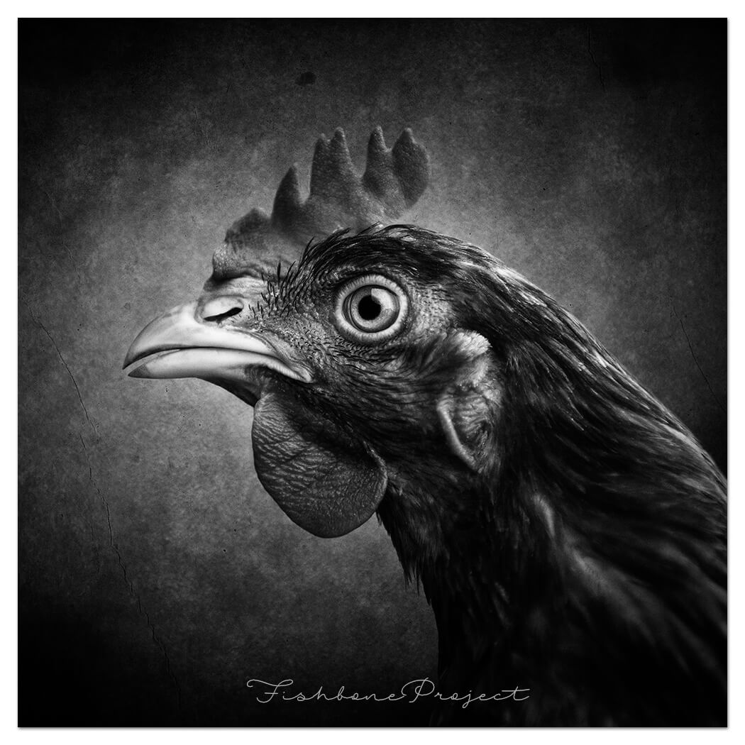 hen sample bw