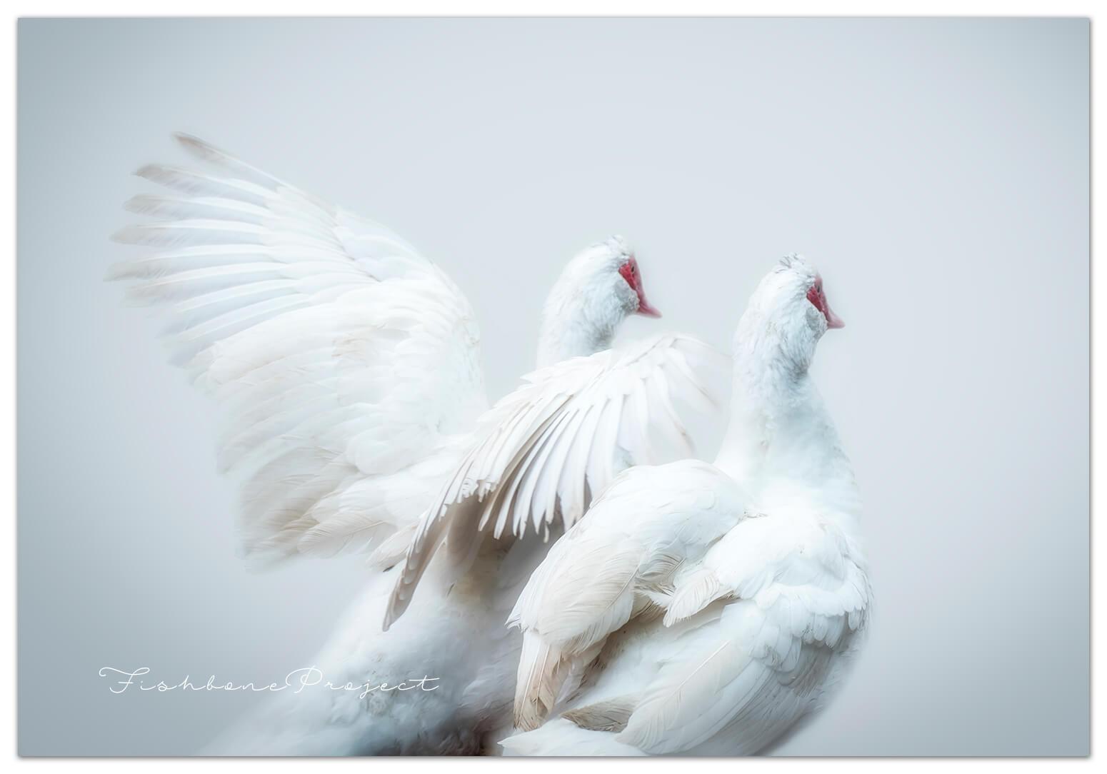 farm-geese1